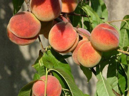 Персик новоселковский — описание сорта и отзывы садоводов