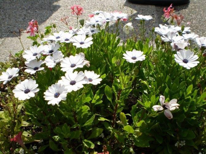 Остеоспермум, выращивание из семян и черенками