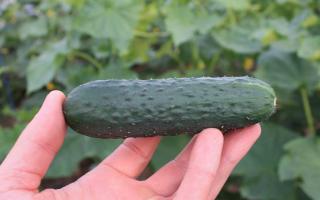 Описание сорта огурца Седрик f1, его характеристика и урожайность