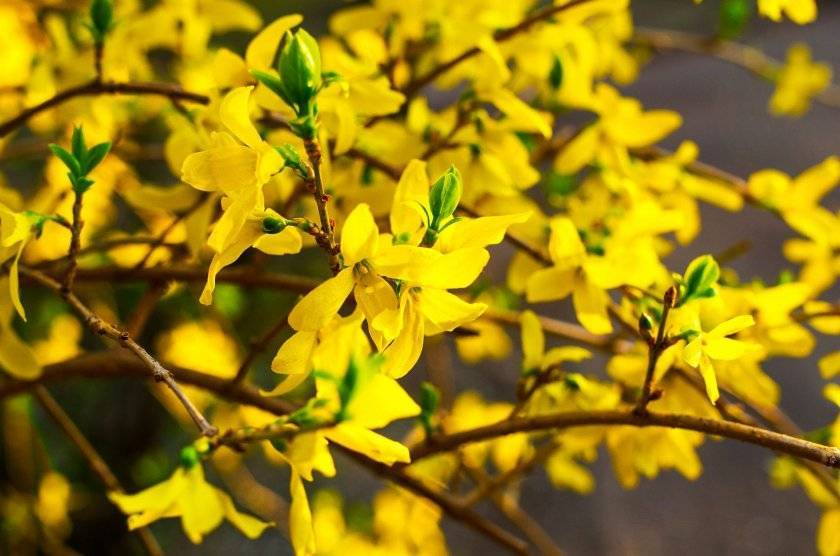 Когда клематис начинает цвести после посадки – будет ли цвет в первый год
