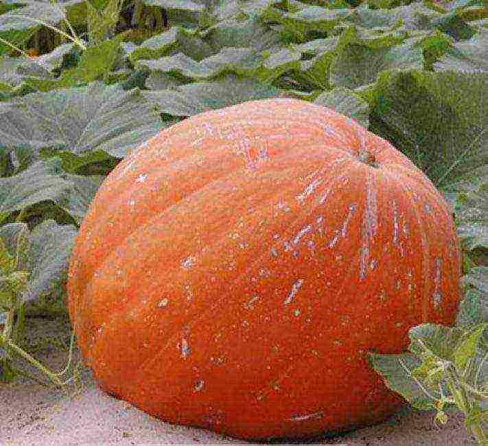 Характеристика тыквы голосемянной и рекомендации по выращиванию сорта