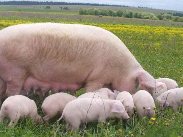 Через сколько перегуливает свинья