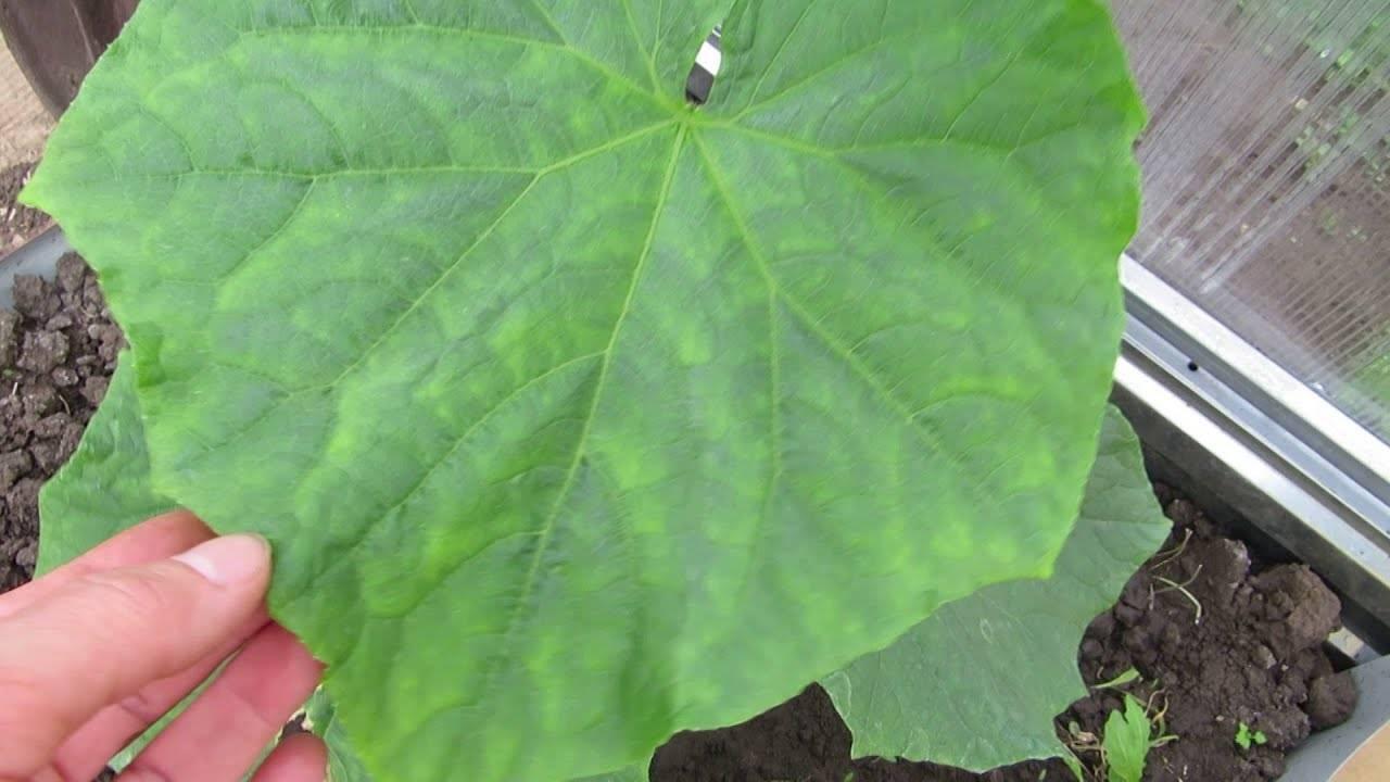 Чем обработать огурцы чтобы не желтели листья — народные способы и советы экспертов по уходу за огурцами (125 фото)