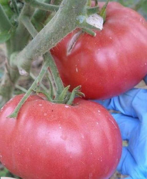 Ее величество томатная королева f1. описание отличительных особенностей и важные рекомендации