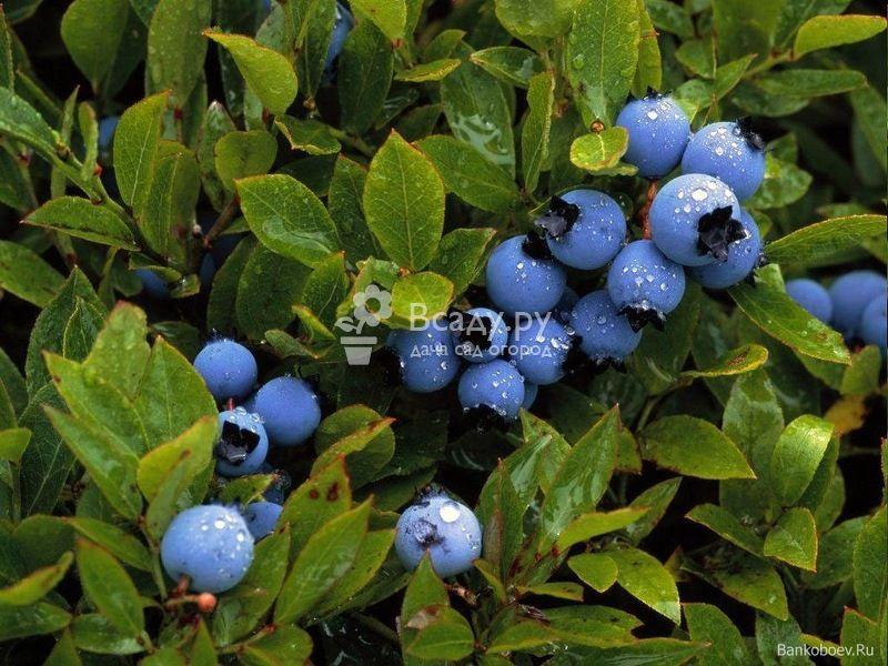 Черничное дерево: выращивание на даче, в саду, особенности размножения