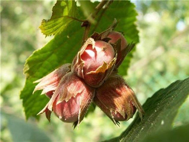 Как растет фундук, правила посадки и размножения ореха