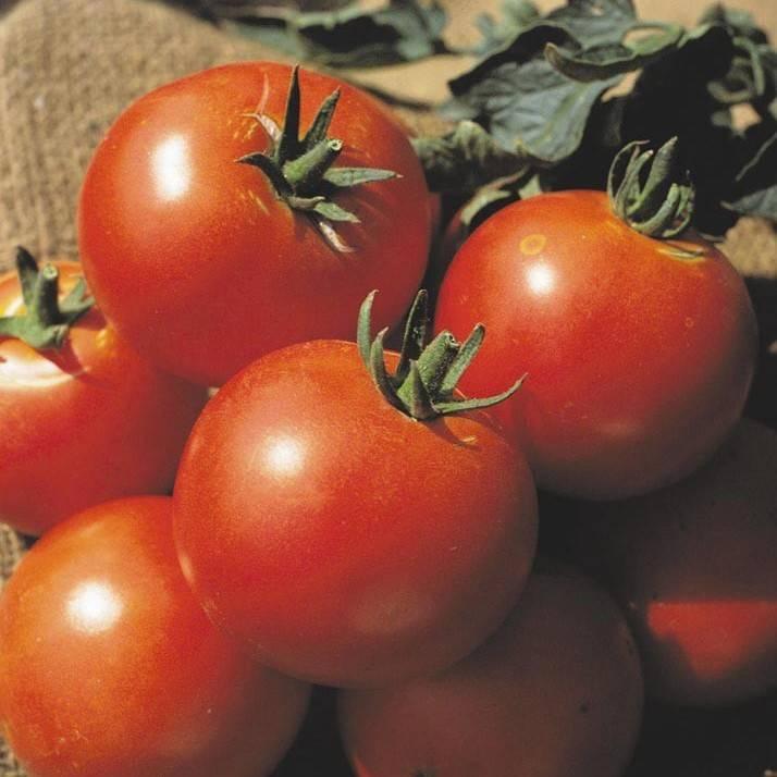 Томат дачник — описание сорта, отзывы, урожайность