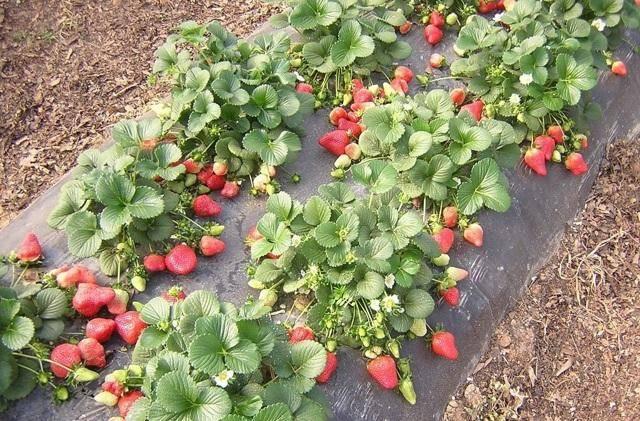 Гербициды на малине: виды, инструкция по применению препаратов от сорняков