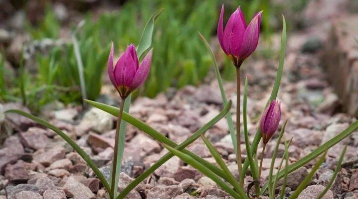 Ботанические тюльпаны: описание и особенности