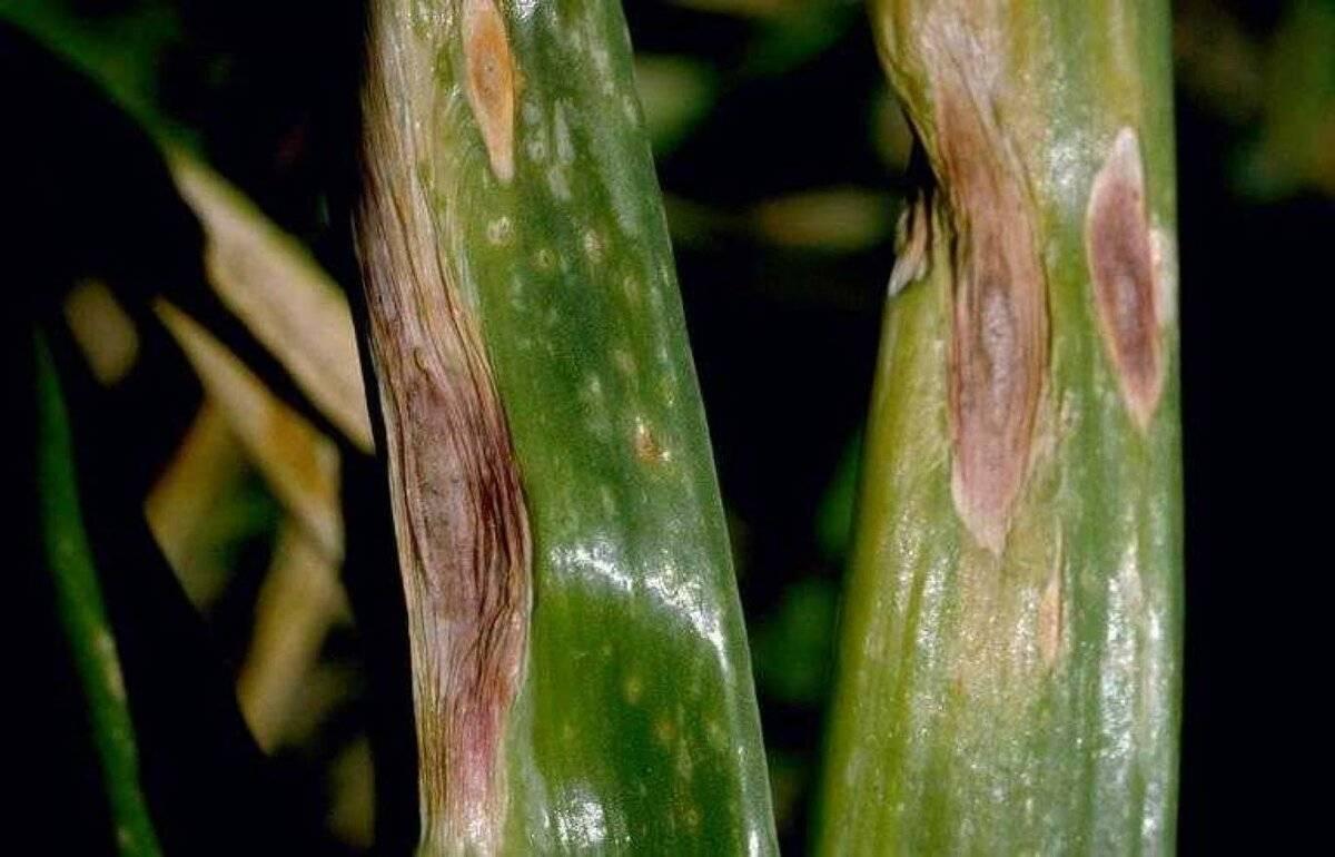 Профилактика возникновения и эффективные методы лечения пероноспороза огурцов