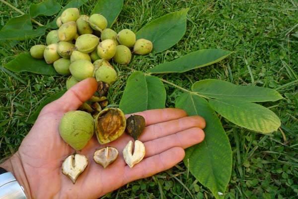 Когда и как правильно собирать зеленый грецкий орех, правила хранения