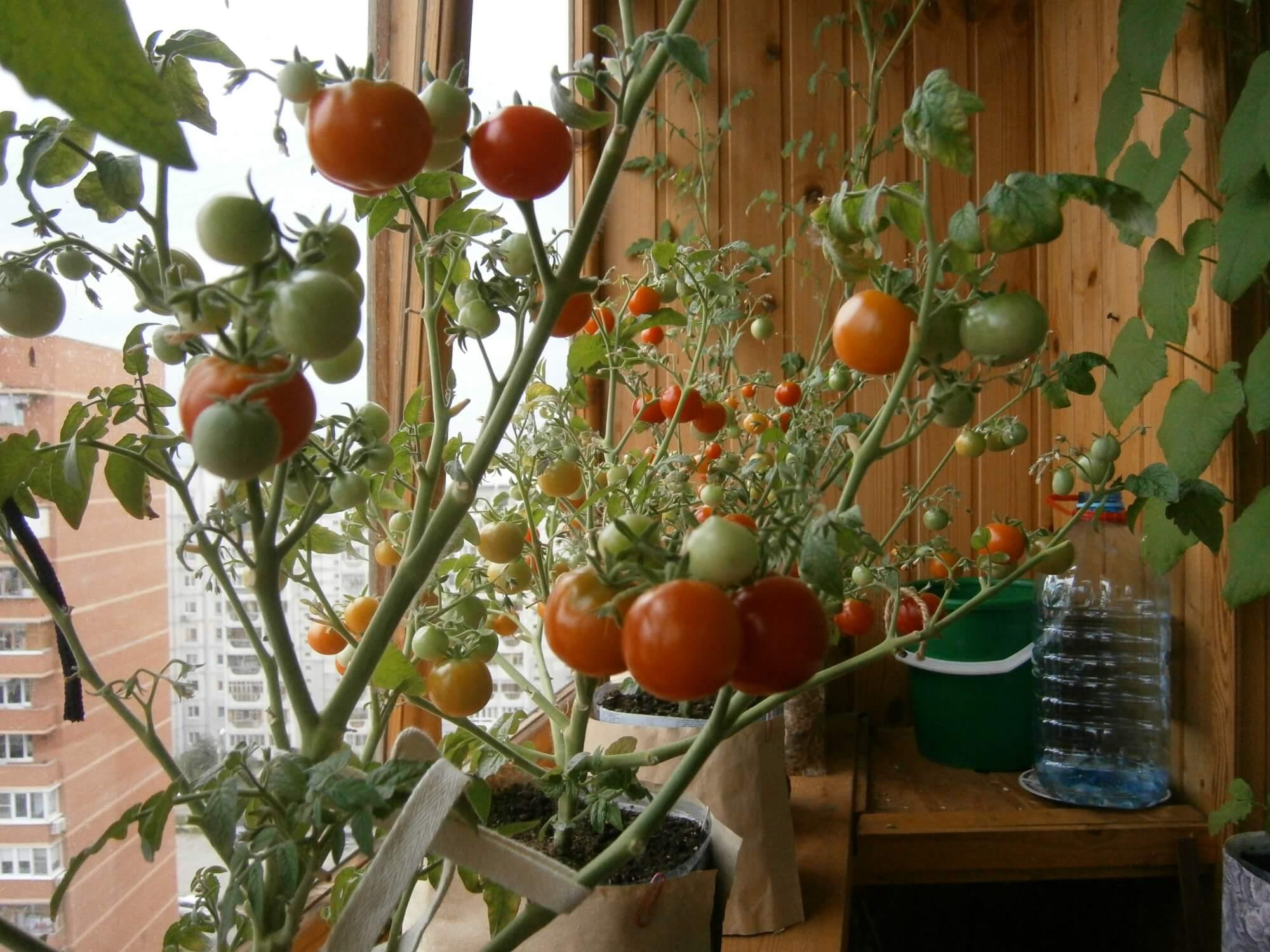 томаты дома с картинками самые интересные обсуждаемые