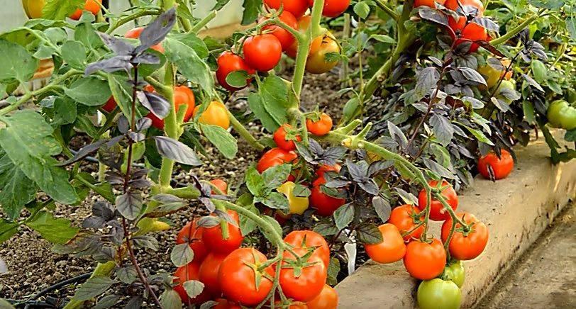 Помидоры жигало: особенности, описание агротехники, отзывы о томате