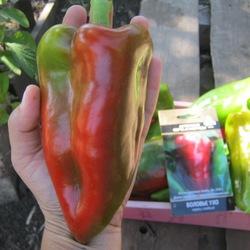 Сорт, который может стать вашим любимчиком — перец «воловье ухо» и секреты его выращивания
