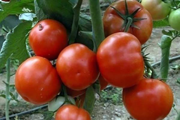 Описание сорта томата Государь F1, его урожайность