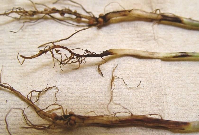 Вредители и болезни петрушки. способы защиты и лечения