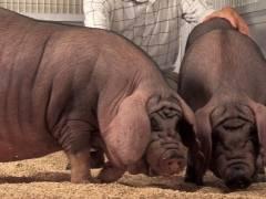 Основные породы свиней в россии и их классификации