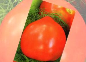 Описание томатов «примадонна f1»: устойчивость к болезням, вкусовые качества