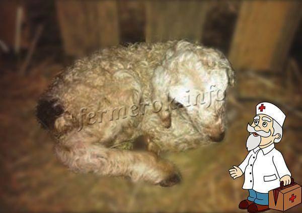Как проводят лечение копытной гнили у коров?