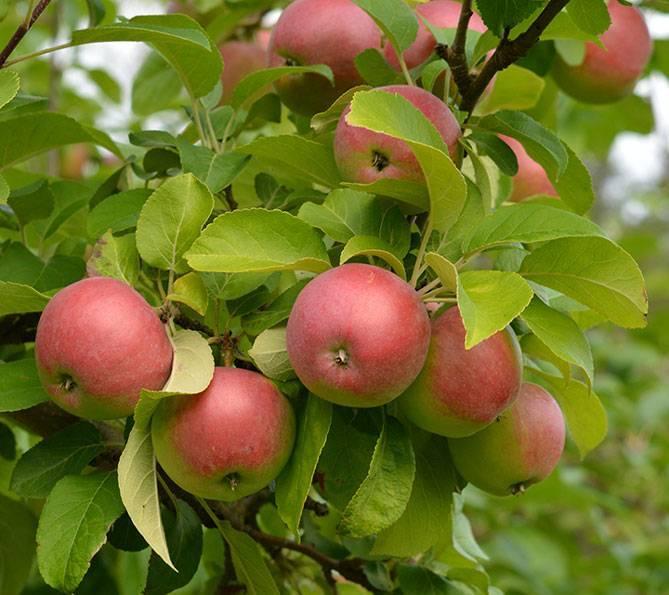 Яблоня лобо: описание сорта и его особенностей
