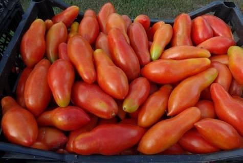Характеристика и описание сорта томата Банан оранжевый
