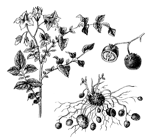 Все о полезных свойствах приправы тархун, ее приготовлении и применении в кулинарии и медицине