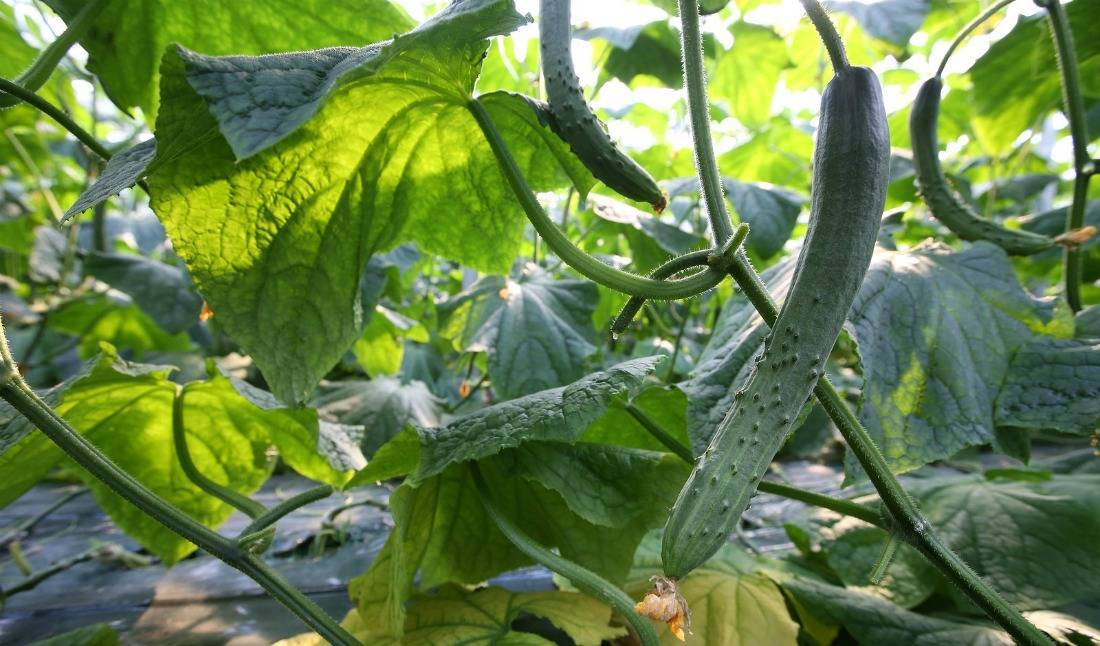 Как выбрать и применять подкормку для огурцов и помидоров