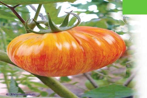 Томат северная королева: описание и характеристика сорта, урожайность с фото