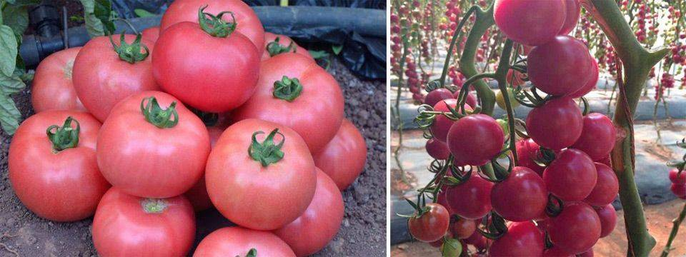 Сорт томата «гейша»: описание, характеристика, посев на рассаду, подкормка, урожайность, фото, видео и самые распространенные болезни томатов