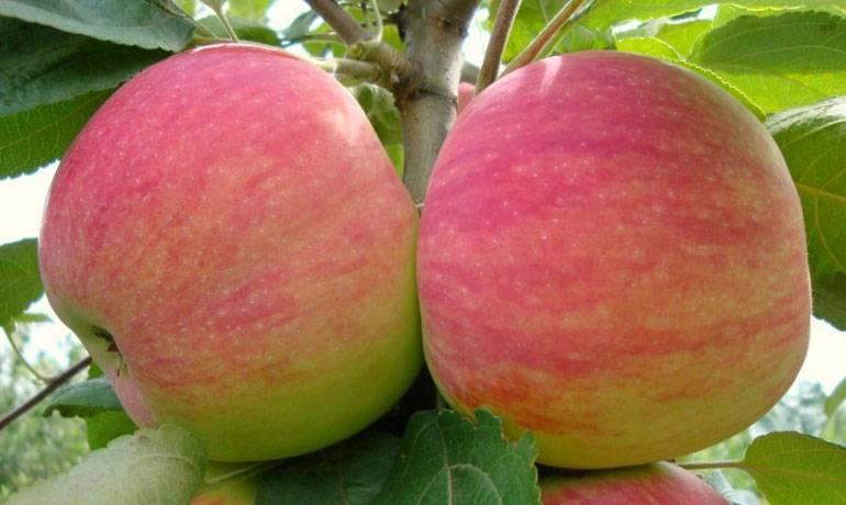 Штамбовые яблони