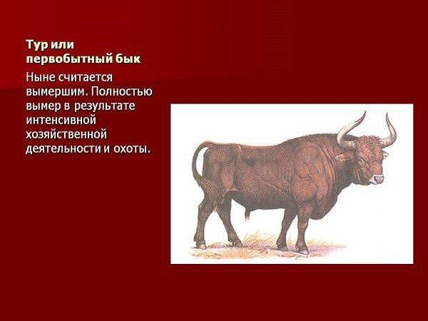 Древние быки. тур бык животное
