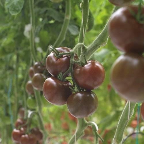 Томат шива f1: характеристика и описание сорта, мнение садоводов с фото