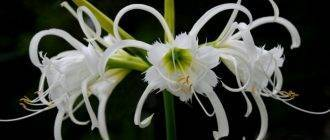 Описание и характеристики паучьей лилии, посадка, выращивание и уход