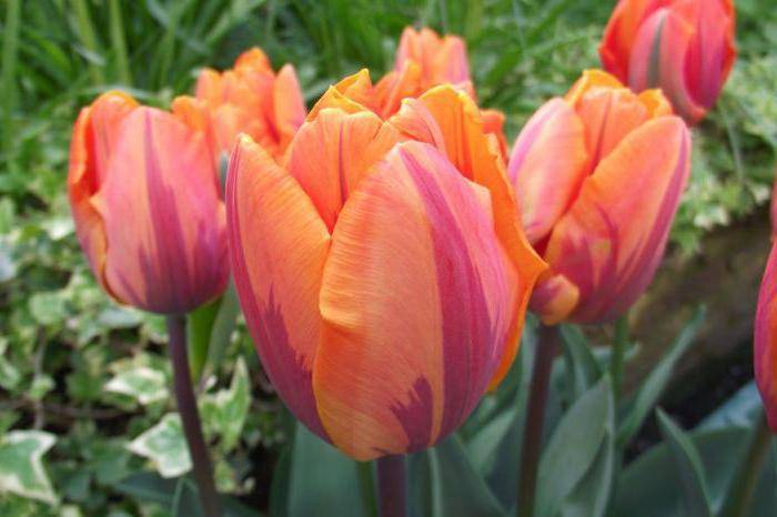 Апельдорн тюльпан: описание сорта и характеристики, посадка и выращивание с фото