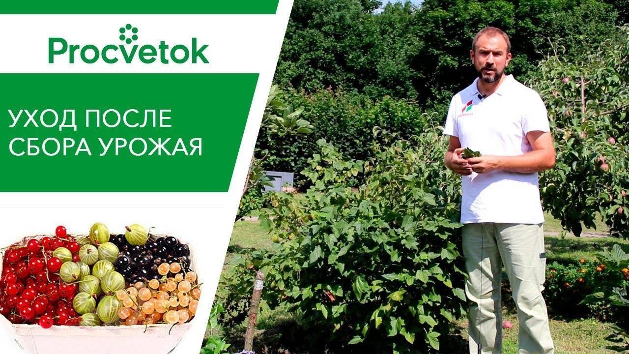 Посадка и пересадка чёрной смородины: пошаговая инструкция