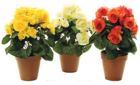 Описание сортов комнатных роз, как выращивать и ухаживать дома в горшке