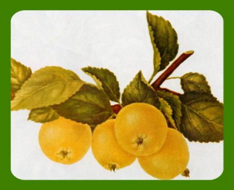 Яблоня феникс алтайский описание фото отзывы