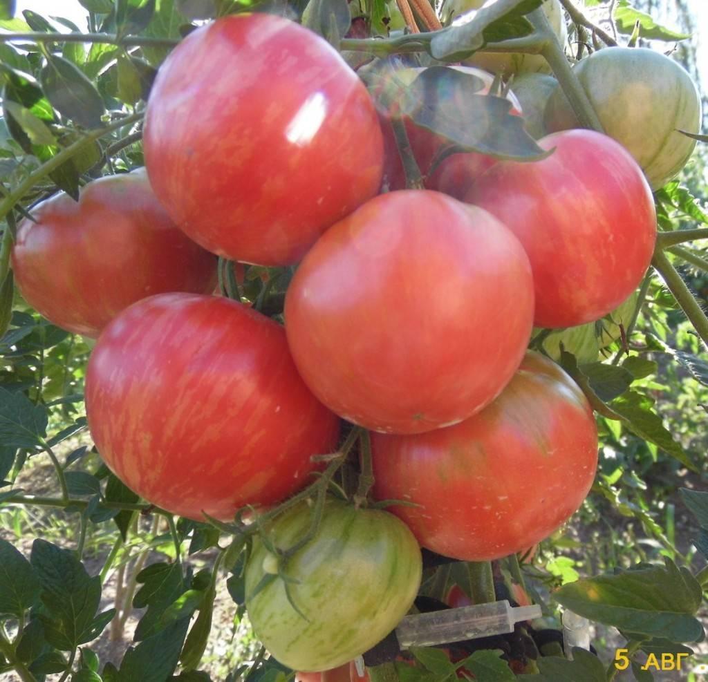 Описание томата сорта турмалин, его характеристика и урожайность