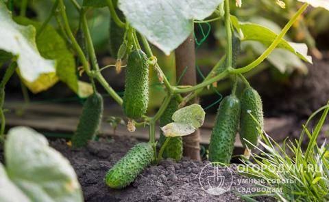 Огурец «зятек f1»: описание сорта, особенности выращивания, борьба с вредителями