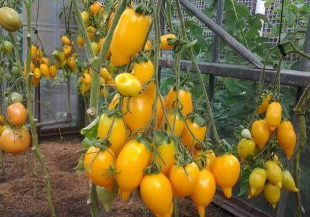 Урожайность и особенности выращивания сорта помидор золотая рыбка