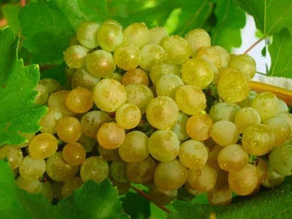 Виноград арочный: урожайный и декоративный зимостойкий сорт