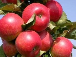 Яблоня «ковровое»: особенности выращивания и уход
