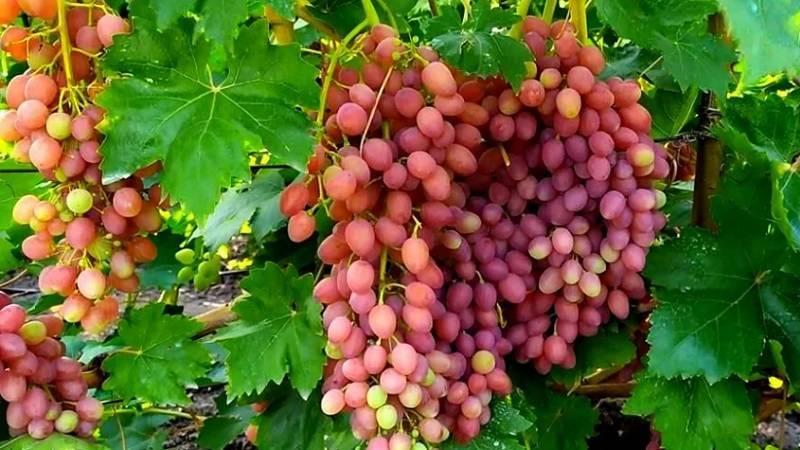 Сорт винограда «кишмиш лучистый» описание с фото