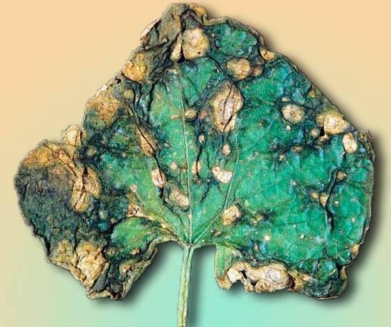 Причины гнили стебля огурца и способы лечения растения