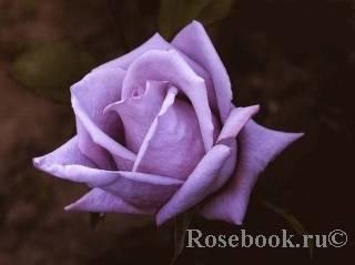 Роза плетистая индиголетта: описание, посадка, уход