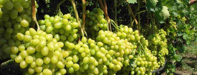 Необыкновенный сорт винограда родом из японии — «маникюр фингер»