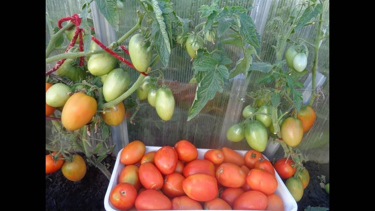 Нюансы выращивания, характеристика и описание томата сорта боец