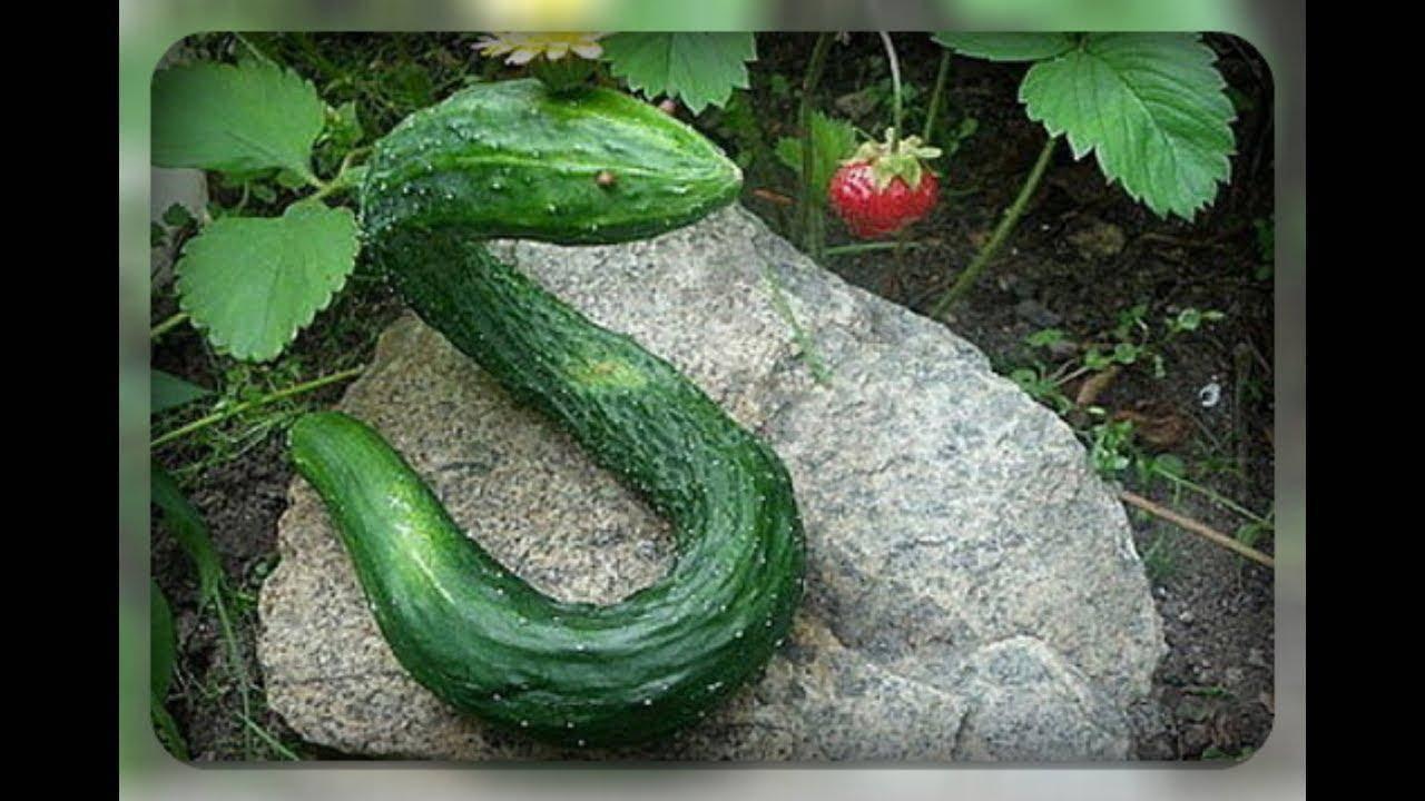 Фото, видео, описание, посадка, характеристика, урожайность, отзывы о гибриде огурцов «китайский змей f1»