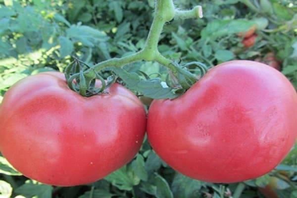 Описание сорта томата Розализа, его характеристика и выращивание