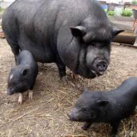 Кормушки и поилки для свиней своими руками фото, виды и требования